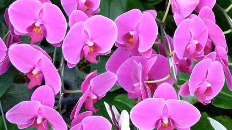 Orchids for sale at the Sunday market at the Lung Center